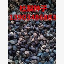 杜梨種子秋季育苗方法 出售杜梨種子價格