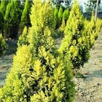 供甘肃绿化苗和兰州园林绿化苗木