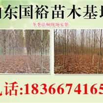 8公分法國梧桐樹9公分法桐價格