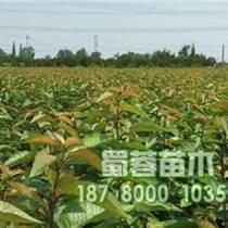 重庆大樱桃苗木繁育中心|重庆大樱桃树苗木基地