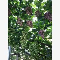 供應葡萄樹苗、葡萄苗品種