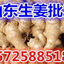 山東生姜產地老姜低價批發 生產地收購價格市場行情調研