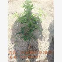 实生藤椒苗供应,藤椒苗价格实惠,藤椒基地现场起苗