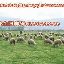 焉荬草种植养殖敖汉细毛羊的牧草籽