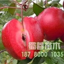 四川涼山紅肉蘋果苗批發