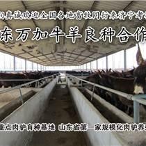 宿迁肉牛价格