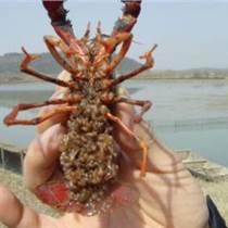 小龍蝦苗種包成活包回收免費提供養殖技術