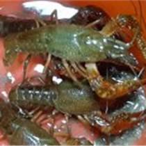 安徽哪里有龍蝦苗養殖基地安徽龍蝦苗現在多少錢一斤