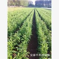 優質荊芥種子價格行情