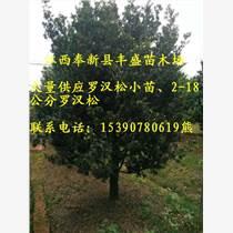 2-18公分羅漢松、紅豆杉、紫薇、香樟價格