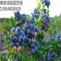 品種:藍莓苗 藍莓樹苗