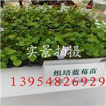 草莓苗种植方法  红颜草莓苗适合种植在哪里