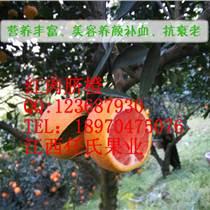 红肉脐橙苗,红心脐橙苗,江西血橙苗,华红脐橙苗,中华