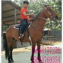 骑乘马三河马多少钱