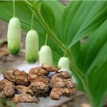黃精片壓片糖果代加工顆粒劑粉劑固體飲料營養食品委托加工