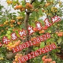 供應海棠盆景