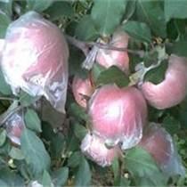 渭南膜袋红富士苹果陕西省膜袋红富士苹果供应膜袋红富士苹果基地