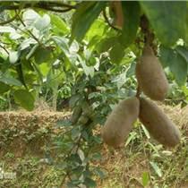 八月果香蜜果种苗 果树种苗批发