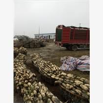 怀化莲藕批发供应 藕种种苗批发 嘉鱼莲藕种植基地