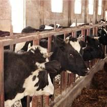 急售奶牛,肉牛,黑白花,肉牛各品種牛
