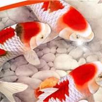 日本锦鲤、周村金鲤养殖厂(图)、锦鲤价格