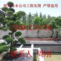 蘇州黃楊樹種植基地、小葉黃楊樹、瓜子黃楊樹、蘇州庭院苗木批發