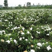 种子花卉种苗草坪/草皮马尼拉草