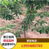 樱桃苗 2017年樱桃苗价格 吉塞拉矮化樱桃苗价格