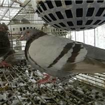 種鴿養殖基地|衡水種鴿|山東中鵬農牧(多圖)