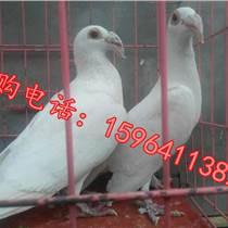 赤峰觀賞鴿養殖場