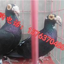 沭陽觀賞鴿養殖場