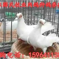 通州觀賞鴿養殖場