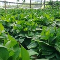 惠州黄金葛绿萝,花山仟亩园艺场,黄金葛绿萝批发