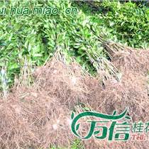 潮州哪里有丹桂出售潮州哪里有桂花苗出售