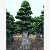 榕樹綠化風景  榕樹批發