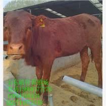 阳泉夏落莱牛饲养管理技术架子牛肉牛牛犊育肥小牛犊