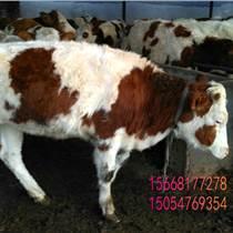 朝阳改良小牛犊鲁西黄牛育肥小肉牛杂交小肉牛