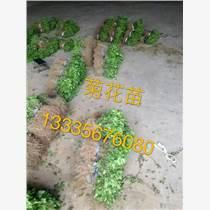亳州藥用菊花種苗價格