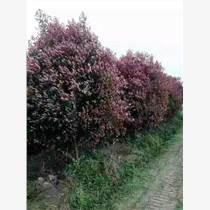 苗木绿化灌木、桂花四季桂八月桂