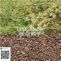柴胡种子价格/柴胡种子供应商