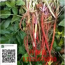 紫丹参种苗价格