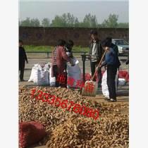 地黃種苗價格/生地種苗價格