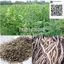 供應防風種苗價格