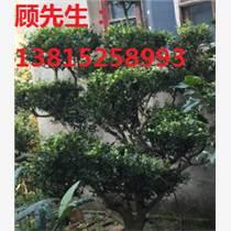 造型瓜子黄杨苏州绿化苗木基地