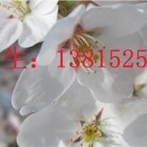 苏州别墅绿化工程施工苏州梅花树