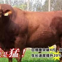 牛吃的飼料育肥快 瘦牛快速育肥方法