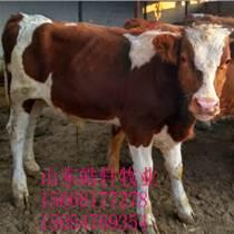 丽江牛苗小牛崽肉牛价格肉牛育肥技术小牛犊养殖
