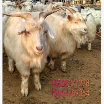 柳州黑山羊屠宰肉羊肉质批发黑山羊羔羊屠宰肉羊