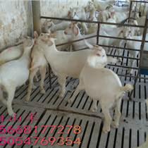 绥化黑山羊羊羔种羊屠宰肉羊羊羔批发价格波尔山羊