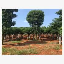 湖南移栽香樟15公分全冠香樟树